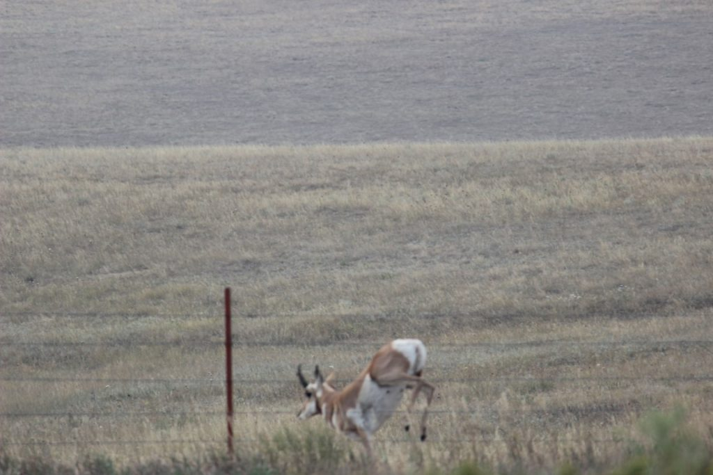 antelope jumps fence