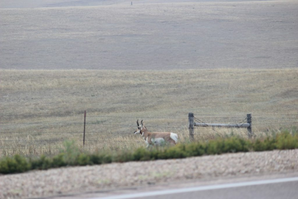 antelope on side of road